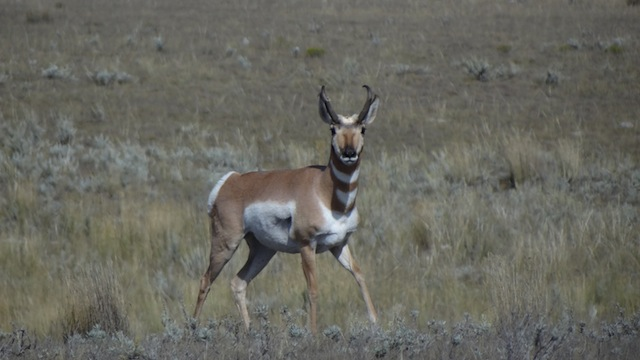 Pronghorn on Henry Road (1)