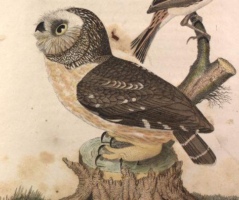 Alexander Wilson. Little Owl.