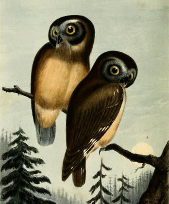 Kirtland's Owl, from Cassin's Illustrations.