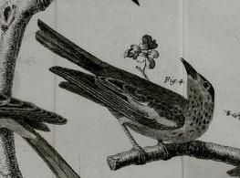 Brisson, 1763