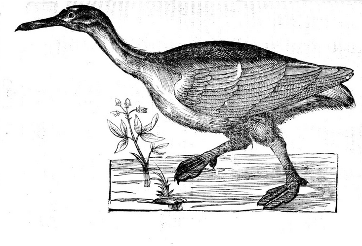 First recorded hybrid between a cassowary and a sungrebe?