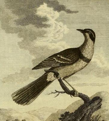 Pennant, Arctic zoology XV 337