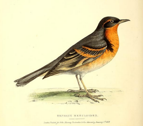 Varied Thrush, Fauna bor-am
