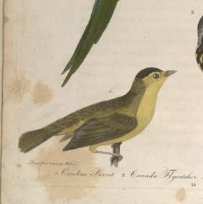 wilson, wilson's warbler