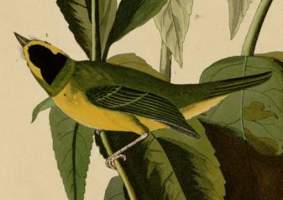 Audubon, wilson's warbler