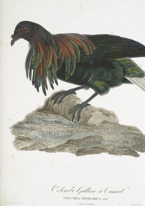 Nicobar Pigeon by Pauline Knip