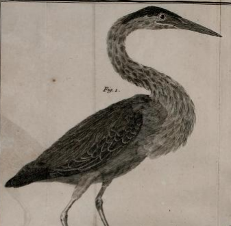 Green Heron, Martinet in Brisson 1760