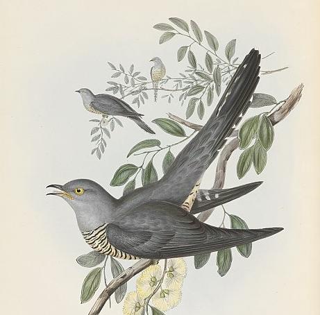 Gould, Oriental Cuckoo