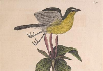 Catesby, Yellow-breasted Chat