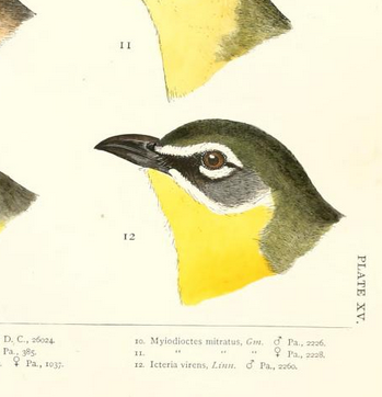 R Ridgway, yellow-breasted chat, 1874