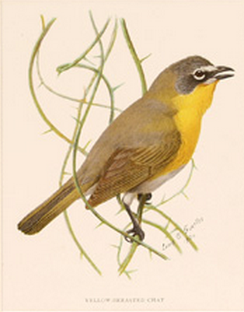 Louis Agassiz Fuertes, yellow-breasted chat