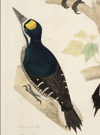 Alexander Rider, Black-backed Woodpecker, Bonaparte
