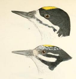 Woodpeckers, Ridgway, Baird History