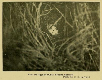 Dusky Seaside Sparrow, Oologist 31 -1914