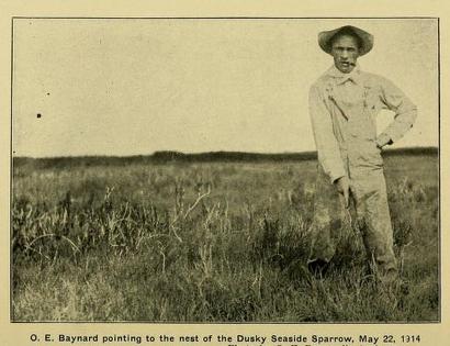 Dusky seaside sparrow nest, Baynard 1914