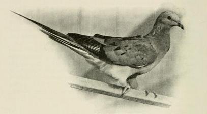 Living passenger pigeon 1913