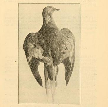 Corpse of passenger pigeon