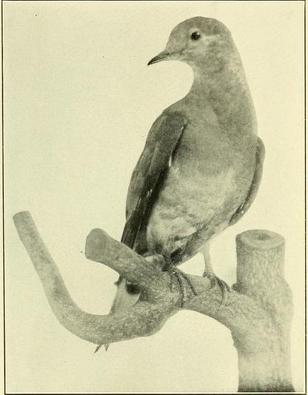 Martha mount passenger pigeon