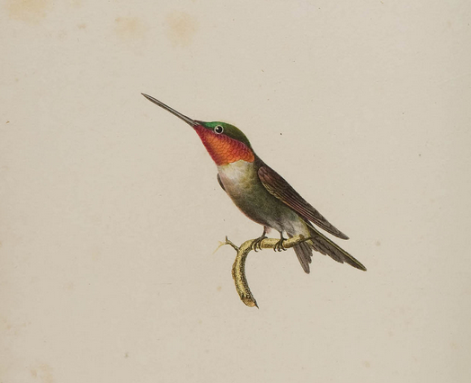 Lesson ruby-throated hummingbird pl 48