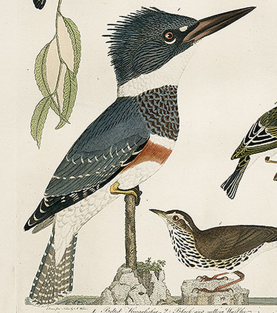 Alexander Wilson, Belted kingfisher
