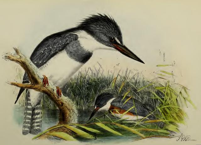 Belted kingfisher, Keulemans