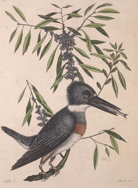 Mark Catesby, Belted kingfisher