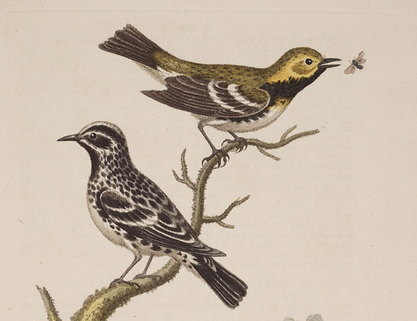 Edwards, Gl 2, black-throated green warbler