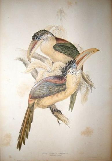 Gould Monograph ed. 1 Curl-crested aracari