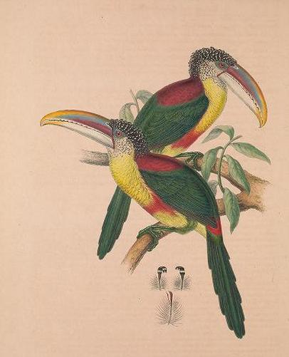 Sturm and Sturm, Gould's Monographie, Curl-crested aracari