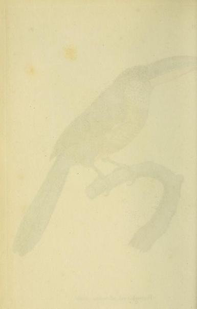 Prêtre, Curl-crested aracari