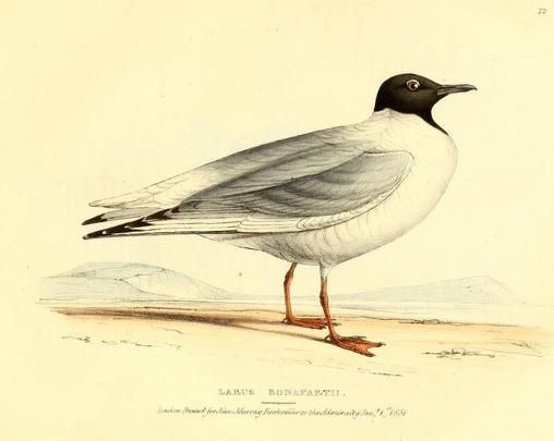 Fauna bor-am ii, Bonaparte's Gull