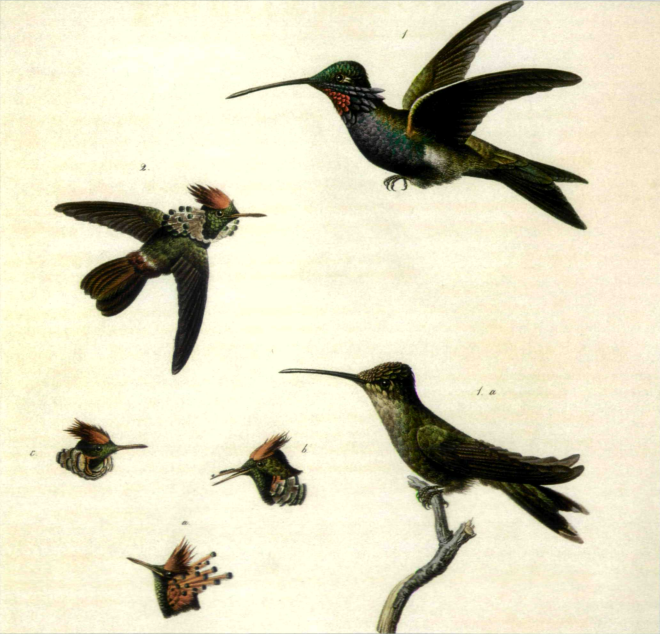 Schreibers Collectanea ornith Bras