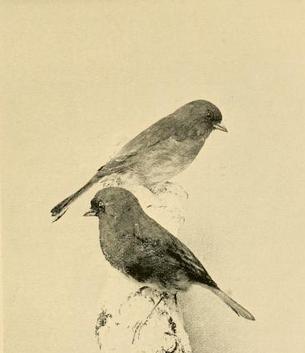 Parkhurst, slate-colored juncos