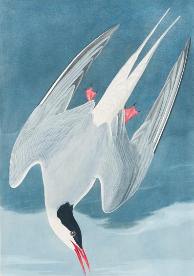Audubon Arctic tern