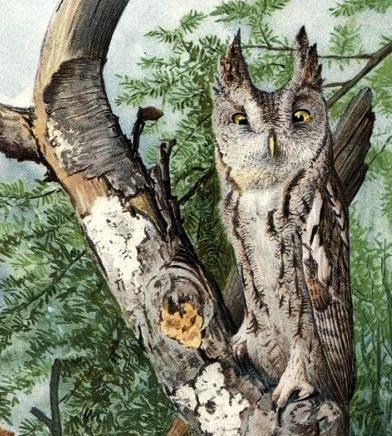 Fuertes eastern screech-owl
