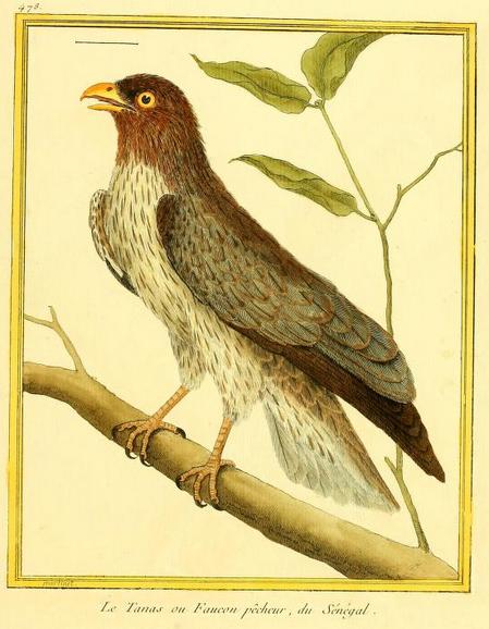 Western Plaintain-eater, Pl enl 478