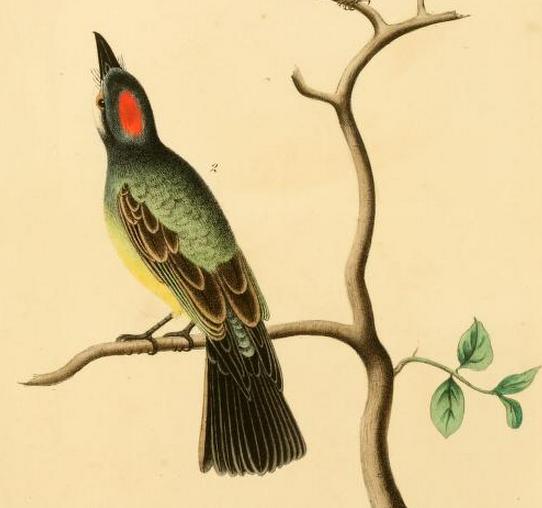Trembly, Cassin's kingbird