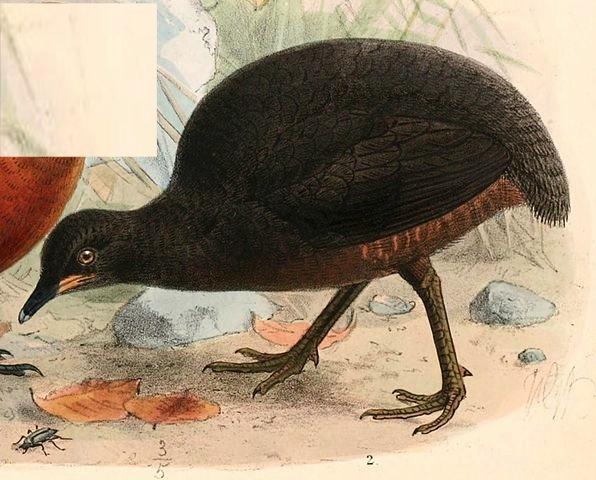 596px-Crypturellus_berlepschi_1897