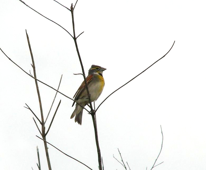 Dickcissel, Louisian