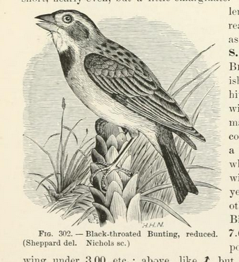 Coues Key 5 dickcissel