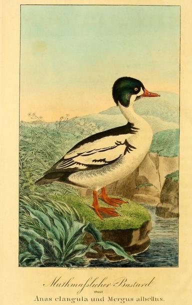 Naumann, 1844, Mergus anatarius