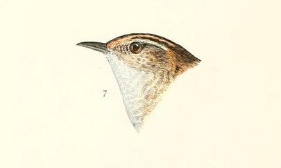 Sedge wren, Ridgway, Baird History