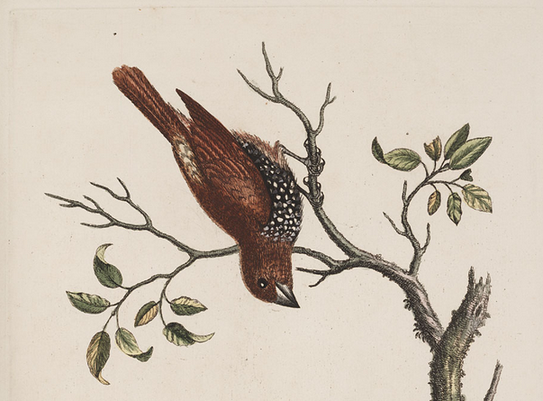 Edwards, Spotted Munia 1743