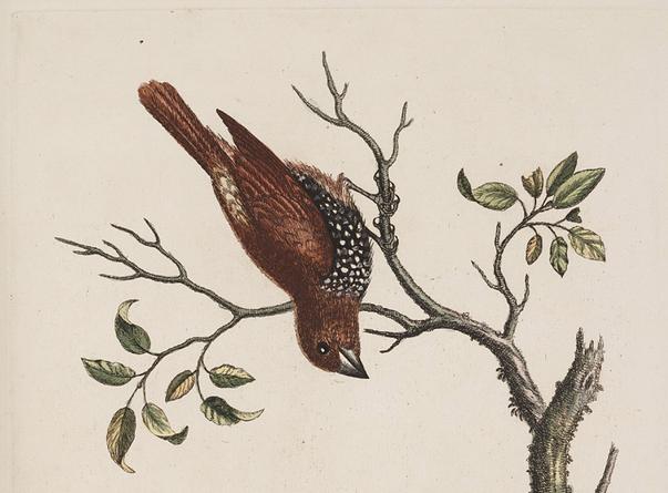 Edwards, Spotted Munia 1743