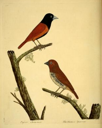 Albin, Chinese sparrows
