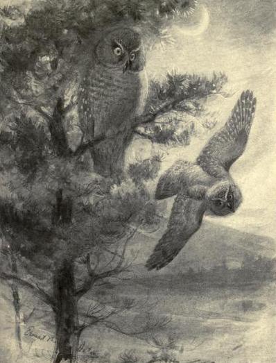Seton, boreal owls