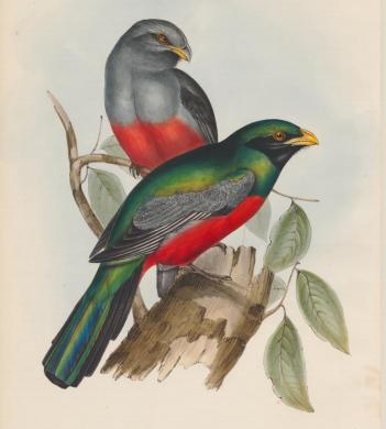 Gould, Massena trogon 1838