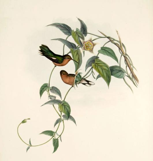 leucippus fallax, gould