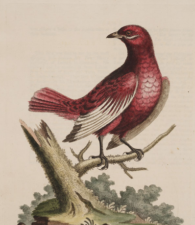 Edwards, pompadour cotinga