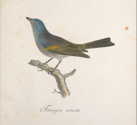Golden-chevroned tanager, in Sparrman, Mus Carl